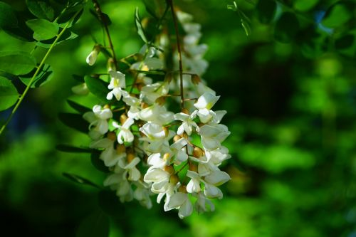 flowers inflorescence white